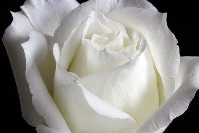 White Rose (Stock Photo by Chen Chenpei)