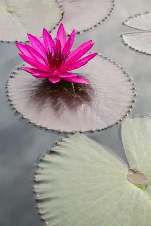 LotusFlower_18210468_s