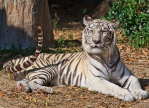 Wild Wisdom, Insights for Traders: White Tiger Crouching
