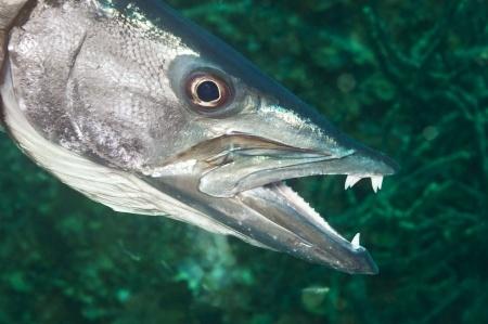 Wild Wisdom, Insights for Traders: Barracuda Teeth